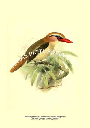 Lilac Kingfisher or Celebes Flat-Billed Kingfisher - Cittura Cyanotis (Temm) female
